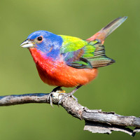 Male Painted Bunting, Wichita Mountains NWR, OK
