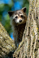 Raccoon, Sequoyah NWR