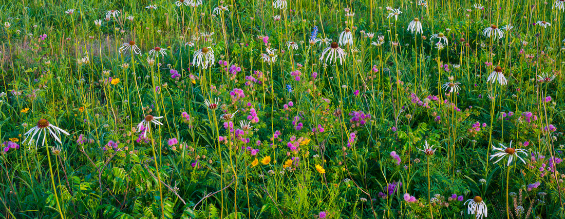 Early May Wildflowers, Cherokee Prairie